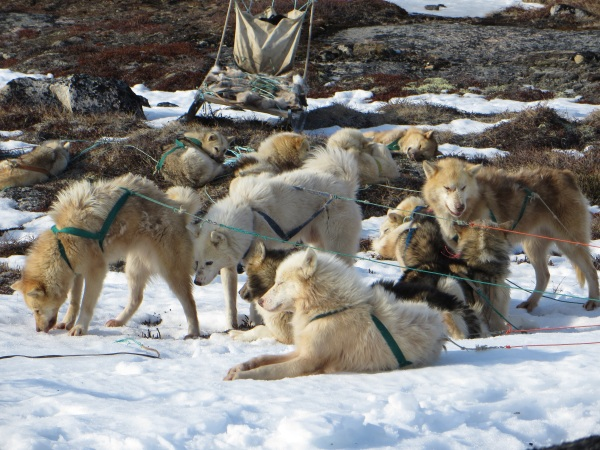 The Dogs of Ilulissat